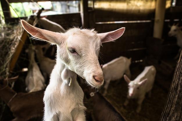 安定したヤギの子供