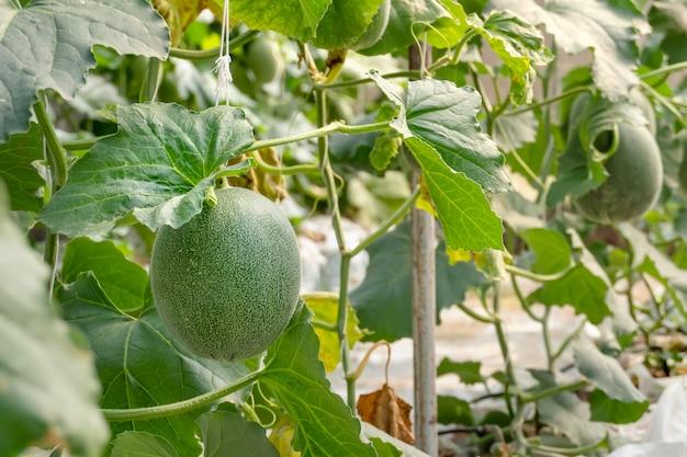 グリーンメロンの若い芽
