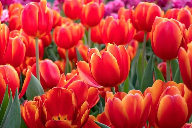オレンジチューリップの花