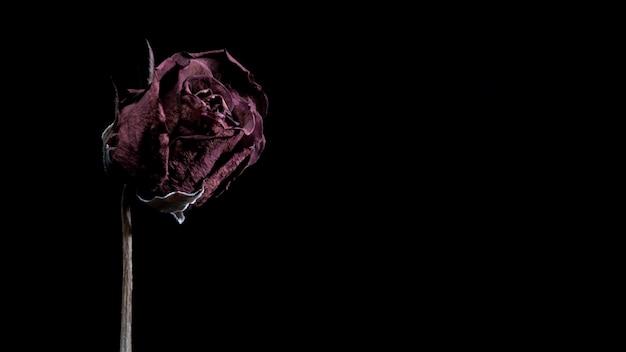 コピースペースと黒の背景に赤いバラを乾燥させました。