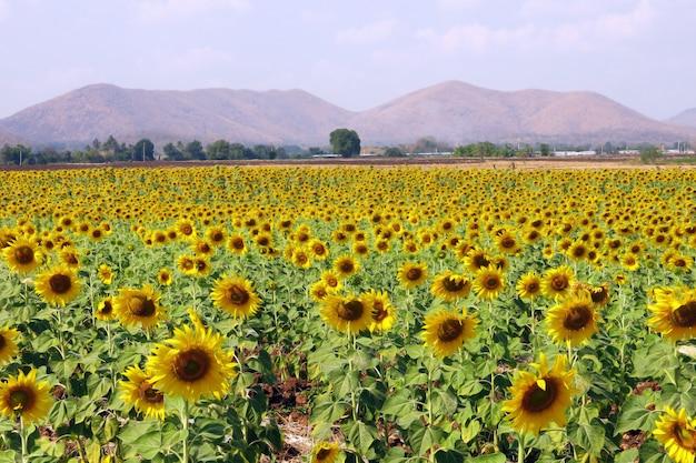山と美しい空を背景に黄色の太陽の花畑の美しい風景