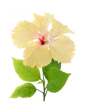 黄色のハイビスカスの花の白い背景で隔離