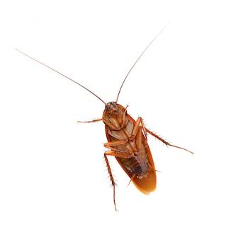 白い背景の上のゴキブリ