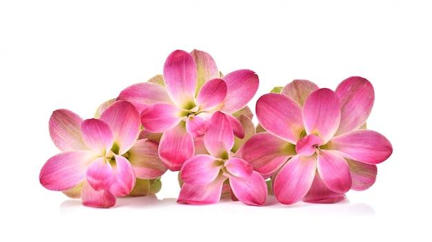 白い背景の上のタイのサイアムチューリップまたはクルクマの花