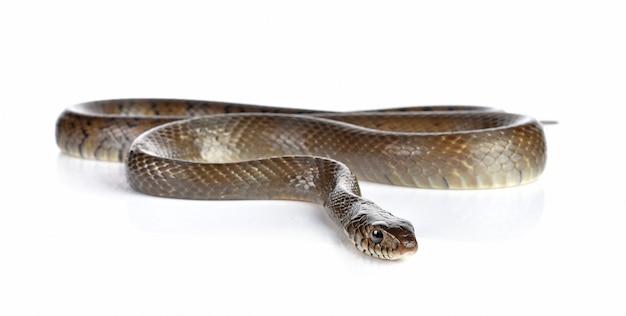 白で隔離されるヘビ