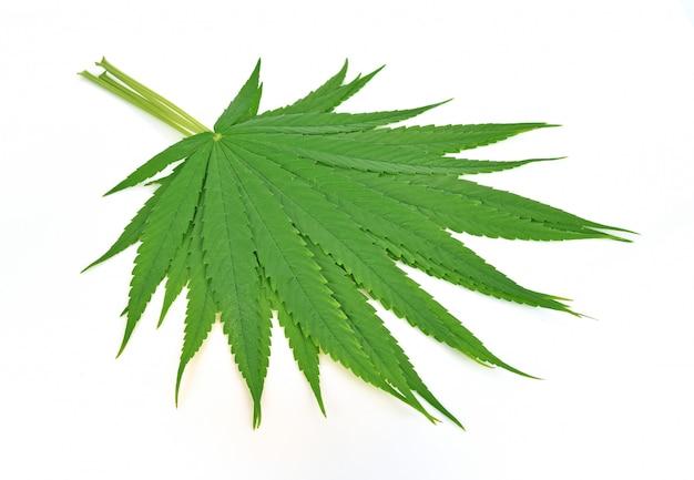 大麻葉、白で隔離されるマリファナの葉