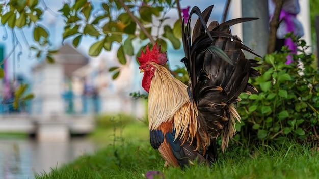 Курица на траве поля