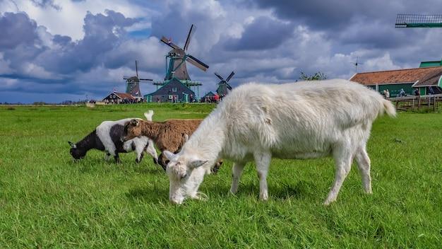 羊のヤギの動物