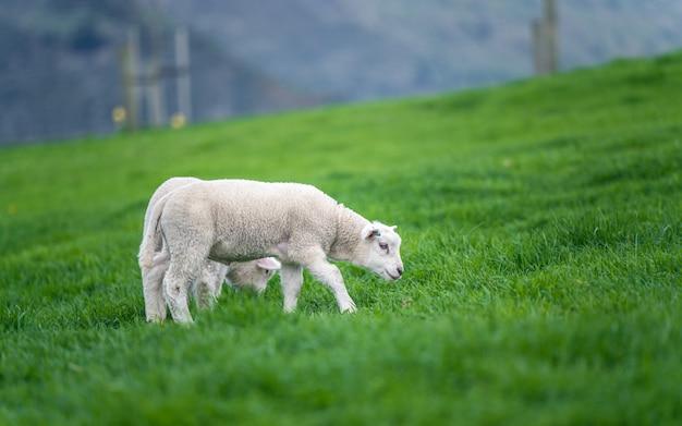 グリーンフィールドの羊