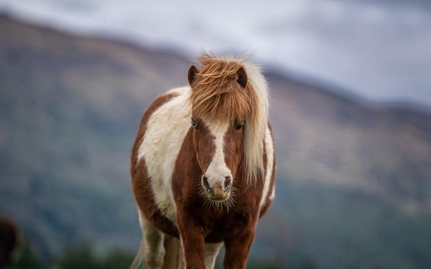 緑の牧草地のミニチュア馬