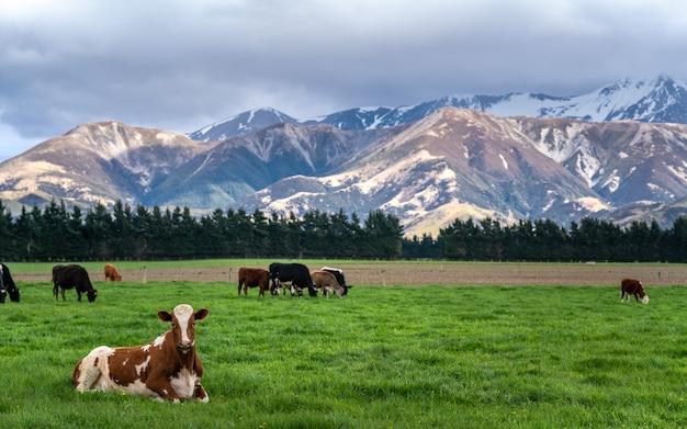 緑の野原で牛