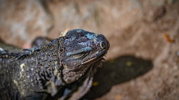 グリーンイグアナ爬虫類