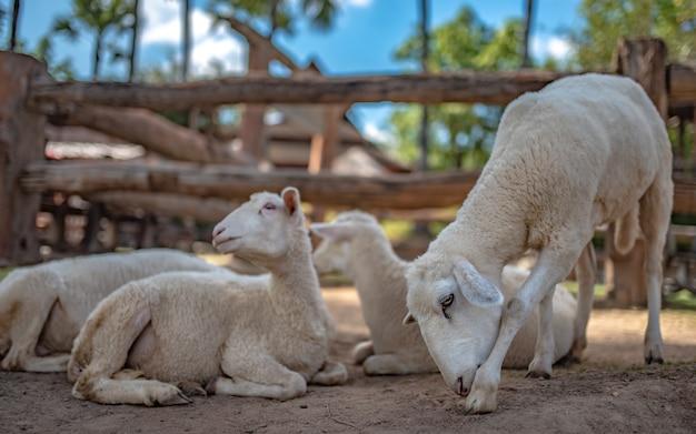 フィールドでの愛らしい羊