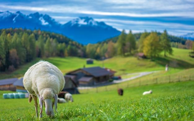 牧草地で愛らしい羊