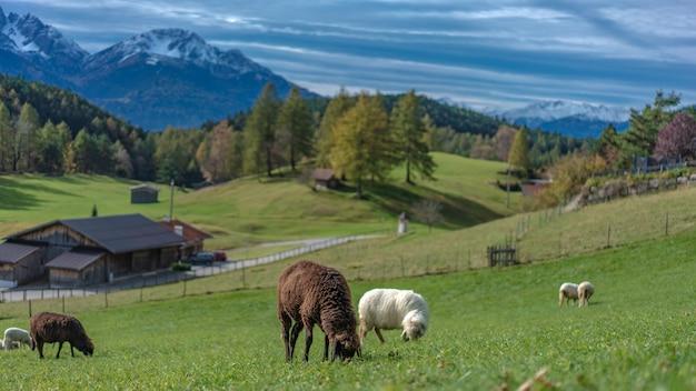 グリーンフィールド風景の中の羊