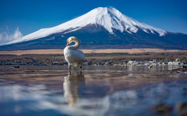富士山の背景を持つ白鳥の湖