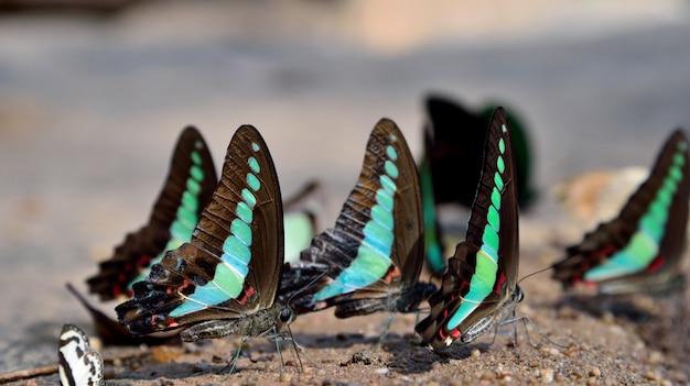 緑の蝶が自然の中で水を飲む