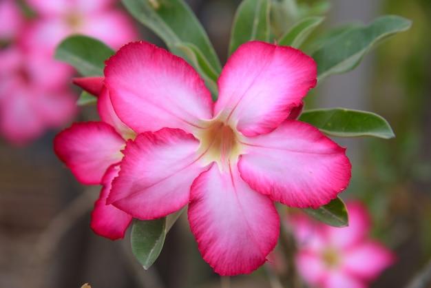 自然の中でピンクのアデニウム