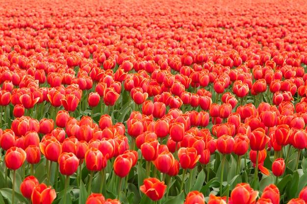 Поле тюльпанов в нидерландах