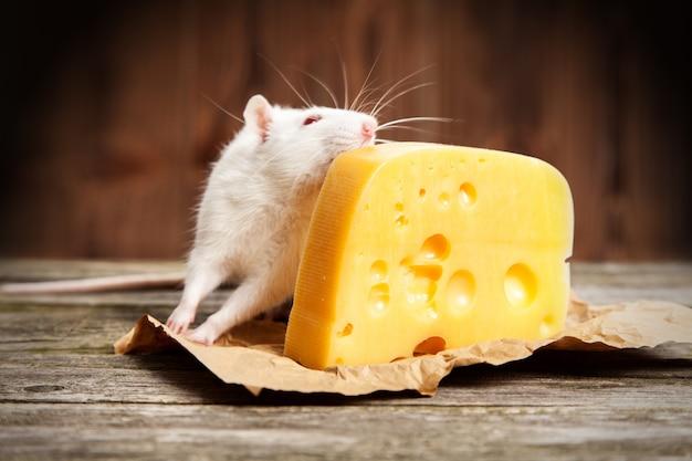 大きな一切れのチーズが付いているペットのラット