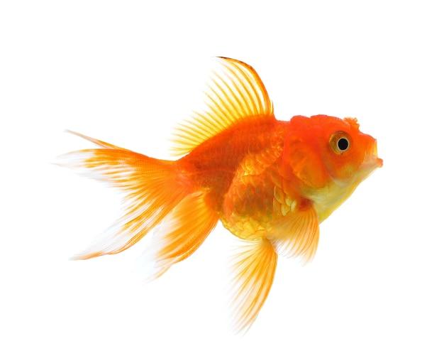 金魚は、白い背景で隔離されています。