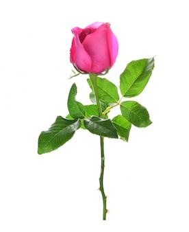 ピンクのバラは、白い背景に