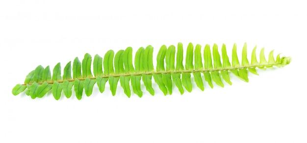 新鮮なシダの葉は、白の背景に