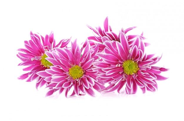 ピンクのデイジー・フラワー、白