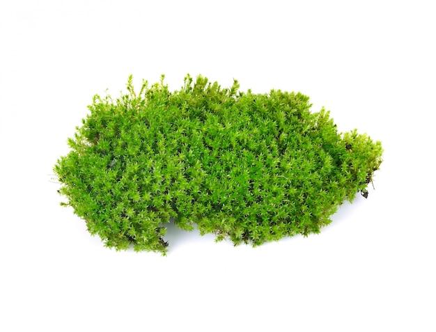 分離された緑の苔