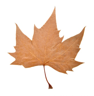 乾燥カエデの葉を白で隔離されます。