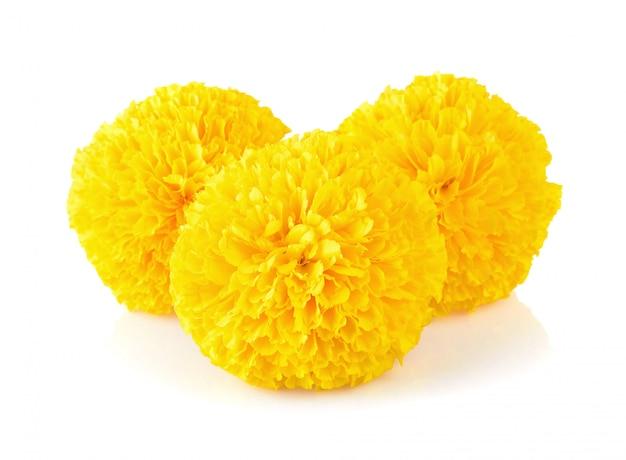 白のマリーゴールドの花