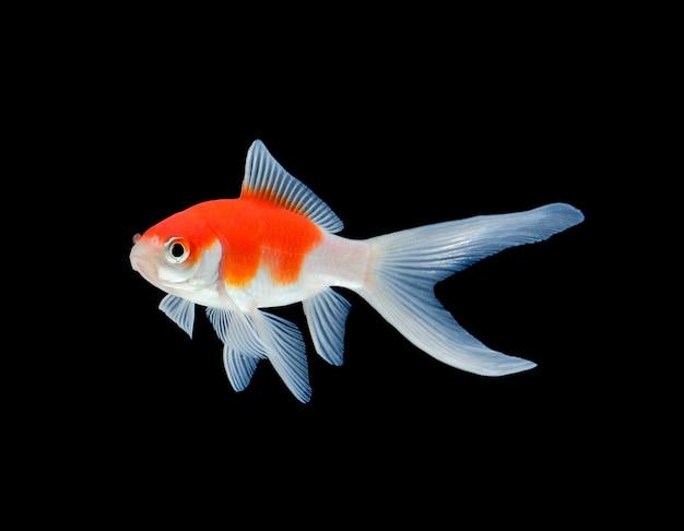 黒に分離された金の魚