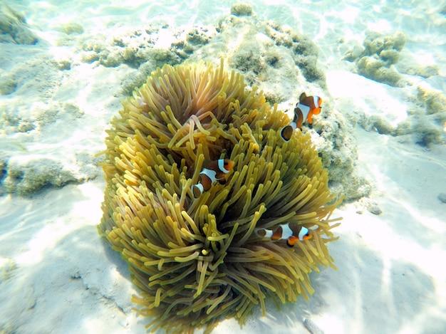 タイ、スリン諸島の海の下でイソギンチャクとカクレクマノミ