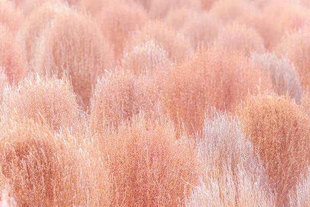 Сухая розовая кохия в осенний сезон