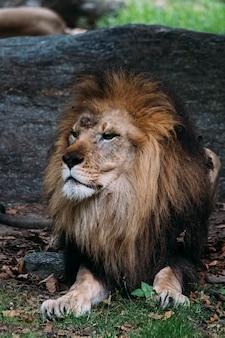 Лев в зоопарке бронкса. нью-йорк