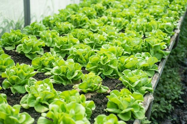 野菜園の中国のケール