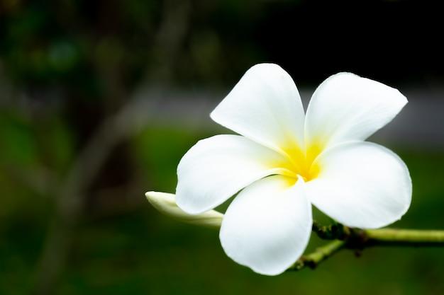 Цветок плюмерия