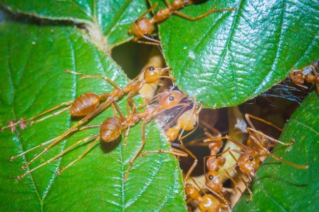 マクロ赤アリが巣作り中