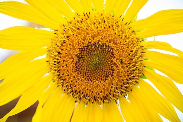 Природа, цветок, фон, крупным планом цветок солнца. в природе