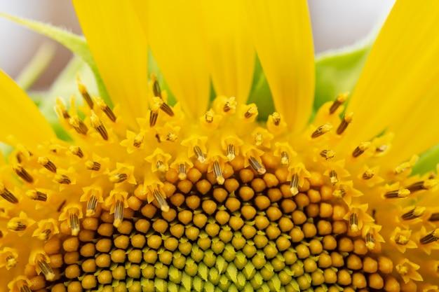 Природа, цветок, фон, крупным планом макросъемки цветок солнца.