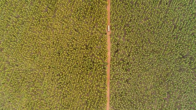 Плантация эвкалиптовых деревьев, вид сверху. эвкалиптовый лес.