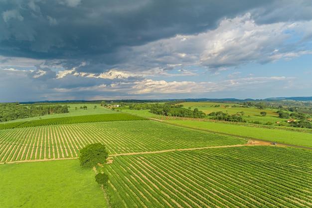 サトウキビはプランテーション空中を収穫します。農業分野の空中のトップビュー。サトウキビ農場。