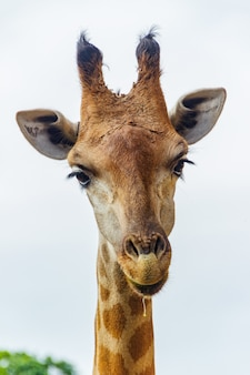Жираф из зоопарка в мире бето карреро, санта-катарина, бразилия