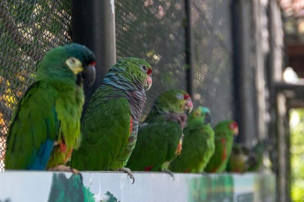ビンロウジュオウムとして知られている鳥