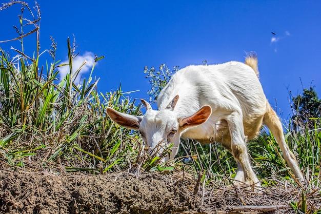 山羊を食べるヤギ