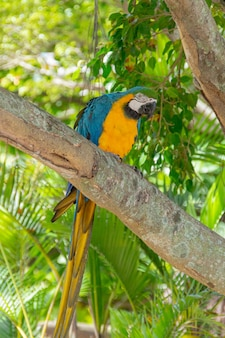 リオデジャネイロで木の幹に黄色い胸のコンゴウインコ。