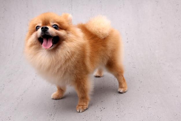 灰色の背景上のポメラニアン犬。