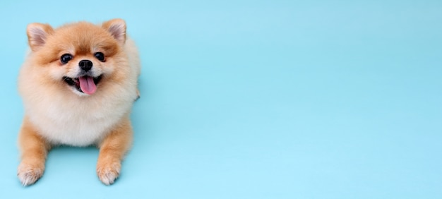 青い背景のポメラニアン犬。