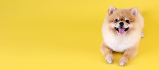 背景が黄色のポメラニアン犬。