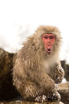 Японская снежная обезьяна